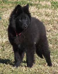 belgian sheepdog available black gold belgian sheepdogs groenendael females