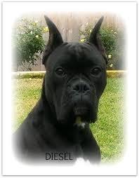 boxer dog utah home page