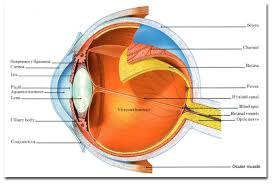 Eye Anatomy And Physiology Eye Amatomy
