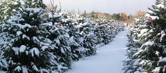 picking the perfect christmas tree in 12 easy steps