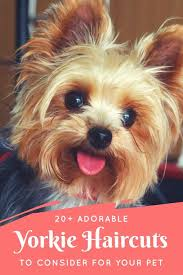 pictures of yorkie haircuts the 25 best yorkie hair cuts ideas on pinterest yorkie hair