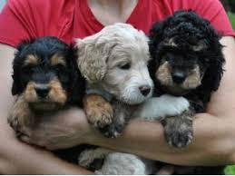 belgian shepherd hypoallergenic australian shepherds puppies for sale hypoallergenic