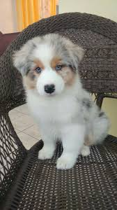 australian shepherd 11 weeks old omgoodness i want her australian shepherd puppy animals