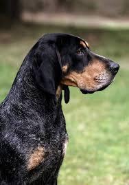 bluetick coonhound decals best 25 bluetick coonhound ideas on pinterest hound dog breeds