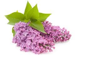 lilac flower clip art clip art library