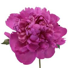 peony flowers in november wholesale bulk flowers fiftyflowers
