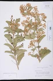 Fragrant Plants Florida - cestrum diurnum species page isb atlas of florida plants