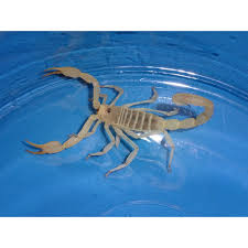 dune scorpion strictly reptiles
