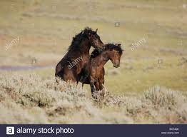 mustang horse mustang horse equus caballus stallions fighting pryor mountain