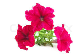 petunia flowers bright flower petunia isolated on white background stock