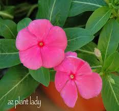 vinca flower vibrant vinca ramblings from a desert garden