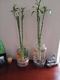 Betta Fish Vase With Bamboo Wonderful Living Arrangement With Beta Fish Water Garden