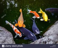 koi fish on the pond in kanazawa the word koi comes from