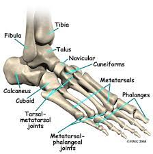Talus Ligaments Ankle Anatomy Ligaments And Tendons Ankle Anatomy Bones Crossword