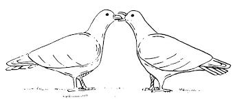 domestic pigeons rock doves living with wildlife washington
