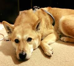 jindo dog rescue network home facebook