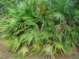 native plant society florida florida native plant society blog a tribute to saw palmettos