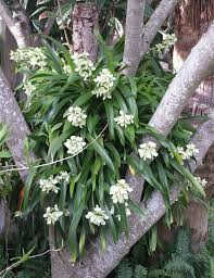 Tropical Fragrant Plants - encyclia radiata a highly fragrant orchid this is in my mother
