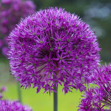 allium flowers longfield gardens allium purple sensation bulbs 100 pack
