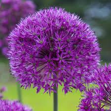 allium flower flower bulbs garden plants u0026 flowers the home