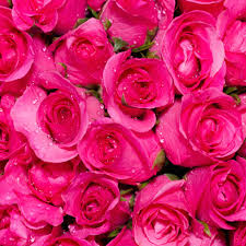 bulk roses fresh bulk attache hot pink stems 68 to 1 00 per stem