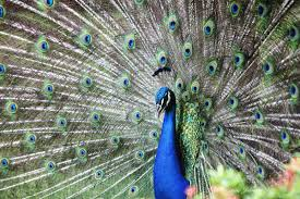 online get cheap painting peacock feathers aliexpress com