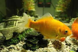 how you could easily raise fish indoors for food u0026 profit