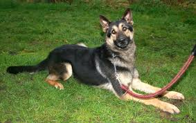 belgian sheepdog german shepherd mix lower price pet belgian german shepherd cross stone
