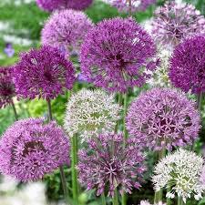 allium mixed bulbs ornamental mixed colors mixed