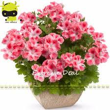 fleurs vivaces rustiques comparer les prix sur geranium seeds online shopping acheter