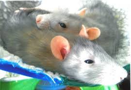 Best Bedding For Rats Caring For Your Pet Rat Bairbre O U0027malley Veterinary Hospital