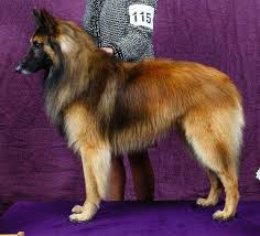 belgian sheepdog brown belgian tervuren