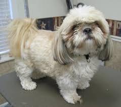shih poo haircuts magic s pet salon before after shots
