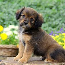 australian shepherd puppies for sale 34655 cavapom puppies for sale cavapom breed info greenfield puppies
