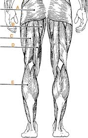 Anatomy And Physiology Online Quizzes 12 Best Muscles Images On Pinterest Human Anatomy Physiology