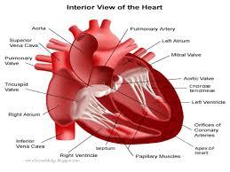 Human Anatomy And Physiology Pdf File The Study Of Human Heart Pdf Version