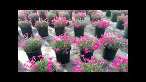 dianthus flower best flowering perennials garden pink dianthus neon