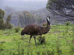 large flightless birds ostrich emu bird cassowary bird