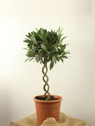 Lollipop Topiary Tree - bay trees with double corkscrew stem 55cm std laurus nobilis