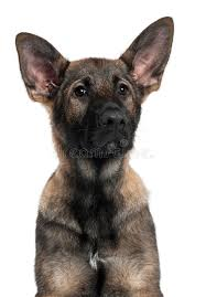 close up of german shepherd puppy 3 months old royalty free stock
