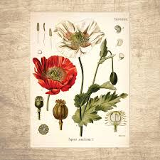 opium opium poppy botanical illustration giclee print choose your