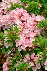 Flowering Shrubs That Like Full Sun - 71 best evergreen trees u0026 shrubs images on pinterest plants