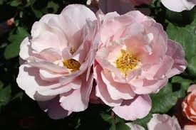 The Most Fragrant Plants - the most fragrant rose in portland