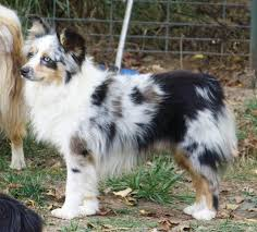 a toy australian shepherd this is the next dog we u0027re getting hopefully soon gorgeous