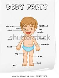 my body educational info graphic chart stock vector 453007057