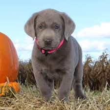 american pitbull terrier for sale in ohio silver labrador puppies for sale in pa