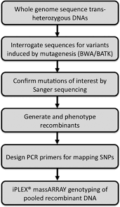 Dna Mapping Whole Genome Sequencing And Iplex Massarray Genotyping Map An Ems