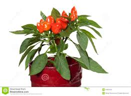 ornamental capsicum plants stock photo image 16967600