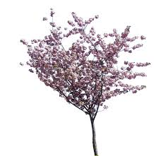 texture cherry blossom small trees lugher texture library