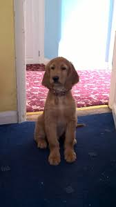 afghan hound rescue england afghan hound x irish red setter hybrid puppies chichester west